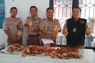 Karantina ikan Bengkulu gagalkan penyelundupan lobster