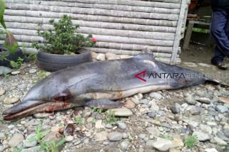 Lumba-lumba mati terdampar di Seluma