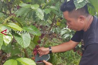 Komunitas Bengkulu dorong dana desa untuk mengembangkan pertanian kopi