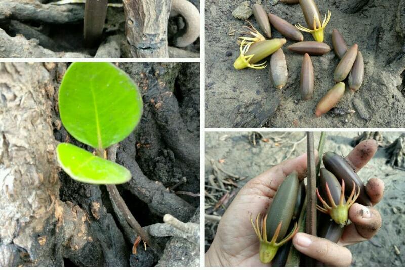Komunitas usulkan Pulau Baai jadi arboretum mangrove
