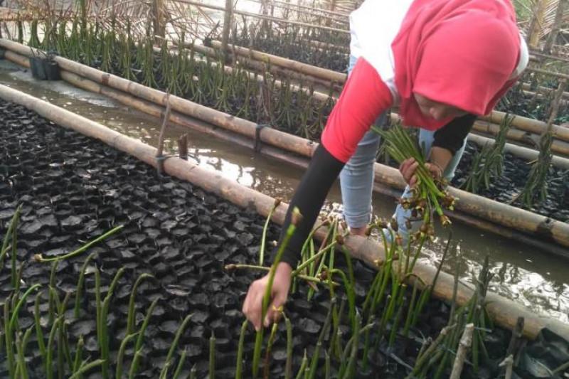 Warga Bengkulu tanam mangrove cegah abrasi