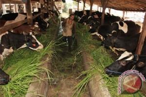 Pemkab Sukabumi Tingkatkan Populasi Sapi Bunting