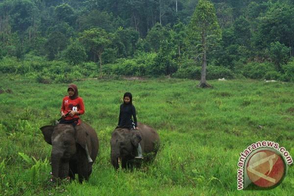 Di Lampung, belasan gajah liar masuk permukiman
