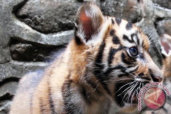 Dana Hibah 9 Juta Dolar Untuk Pulihkan Populasi Harimau Sumatera
