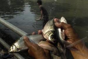 Budidaya Cegah Kepunahan Ikan Lokal Indonesia