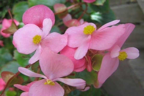 LIPI Temukan Begonia Jenis Baru Sulawesi Tenggara