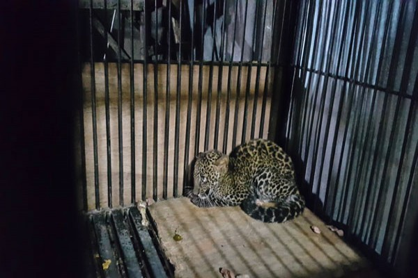 Petugas evakuasi macan tutul dari permukiman warga