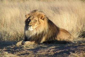 Ada Perempuan Melahirkan Di Ambulans Dikelilingi Singa