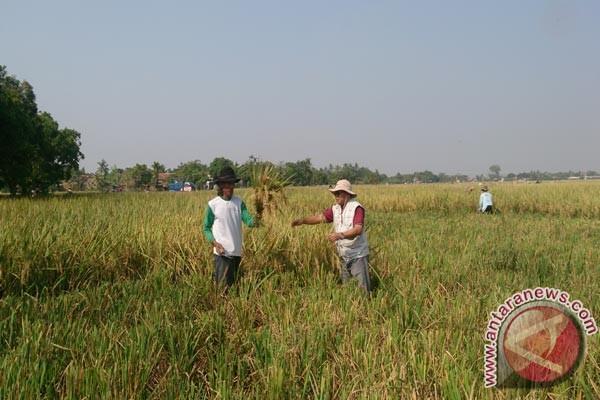 Petani Sukabumi Mulai Panen Raya Padi