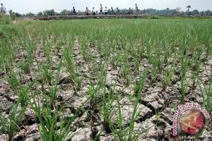 Puluhan  Hektare Sawah Purwakarta Terancam Kekeringan
