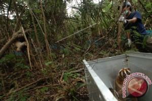 Ini Dia, 34 Kukang Sitaan Jalani Rehabilitasi Di Bogor