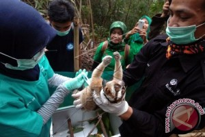 Enam Kukang Sitaan Jalani Rehabilitasi Di Bogor