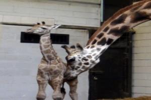 Jerapah Bernama April Melahirkan Anak Di Kebun Binatang New York