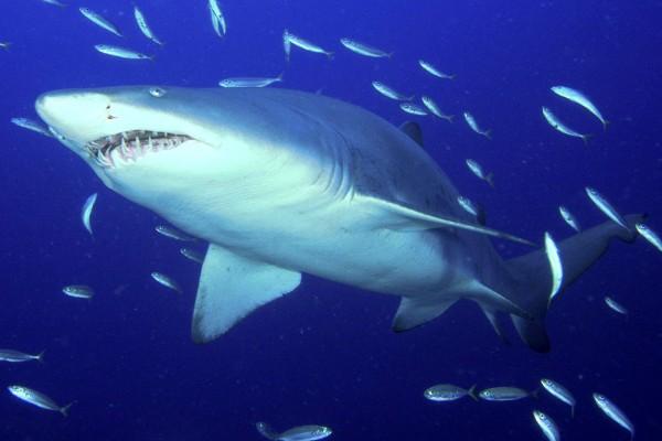 Seorang pria tewas diserang hiu