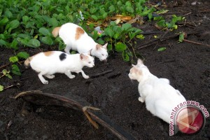 Investigative Reporting: Kucing Kawin