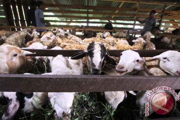 Mahasiswa IPB teliti limbah habbatussauda tingkatkan performa domba lokal