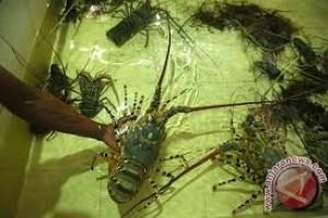 Penyelundupan Ribuan Benur Lobster Digagalkan