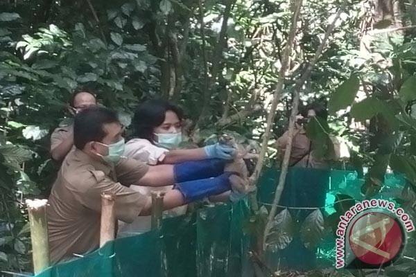 10 Kukang Dilepasliarkan Ke Gunung Sawal