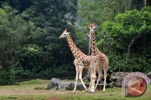 Hewan Jerapah Terancam Punah Di Afrika