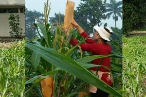 Mahasiswa IPB Tingkatkan Produksi Jagung Pulut