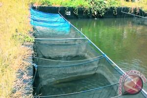 Mahasiswa IPB Manfaatkan Kunyit dan Hormon untuk Produktivitas Ikan Nilem