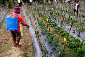 Provinsi Lampung Mempertahankan Sebagai Daerah Surplus Cabai