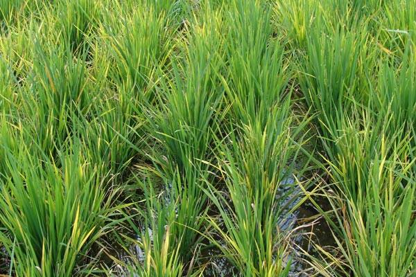 8.000 Hektare Sawah Karawang Terkena Penyakit Ini