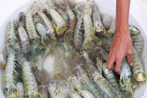 Peneliti IPB Selamatkan Udang Mantis Di Teluk Palabuhanratu
