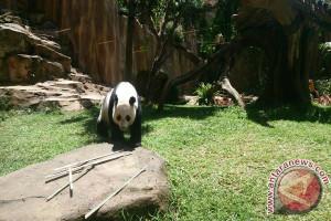 Sehari Panda TSI Habiskan 30 Kg Bambu (Video)