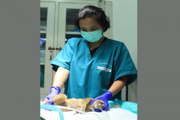 Kukang Jalani Rehabilitasi Di IAR Bogor