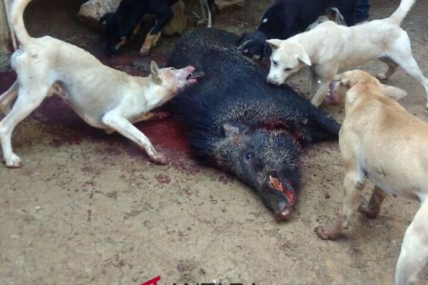 Tragis, kakek tewas diseruduk babi hutan di sukabumi