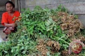 Aceh Barat buka 100 hektare kacang tanah