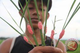 Pemkab Aceh Barat tangani hama ulat padi