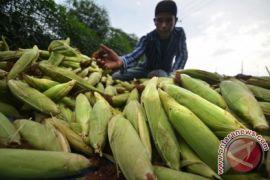 Komoditas pertanian sering anjlok di Aceh Tenggara