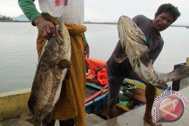 Kerapu jadi primadona nelayan Lampulo