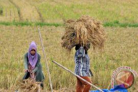 Harga gabah naik di Aceh Utara