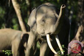 Gajah rusak kebun sawit warga Aceh Barat