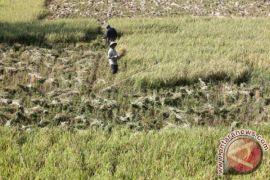 Produktivitas gabah Aceh Barat 135.000 ton