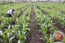Petani sulit dapatkan bibit jagung di Aceh