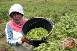 Harga cabai rawit di Aceh Barat naik