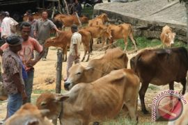 Hewan kurban di Aceh capai 45.534 ekor