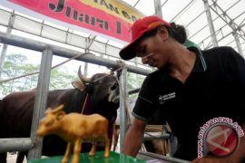 Benih Simental favorit peternak sapi di Aceh Utara