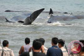KKP nyatakan evakuasi paus terdampar sudah maksimal