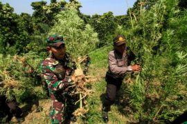 Sinergitas TNI-Polri musnahkan ladang ganja