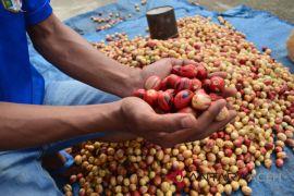 Petani keluhkan harga pala terus merosot