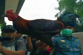 Ayam jago selundupan dari Thailand digagalkan