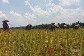 Cuma Sabang tak produksi padi di Aceh