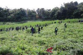 Polisi temukan tiga hektare ladang ganja di Aceh Besar