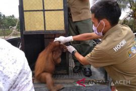 BKSDA Aceh selamatkan seekor orangutan  dari warga