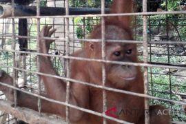 BKSDA Aceh evakuasi orangutan dari kebun
